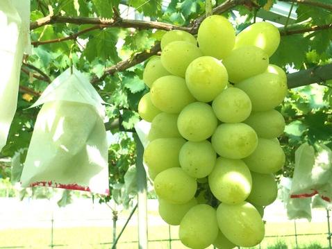 日本のシャインマスカットを韓国が無断栽培、輸出額が日本の5倍超に